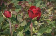 Една българска роза…в Стара Загора