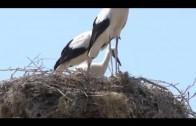 Щъркели в Преславен, как съжителстват хора и птици?