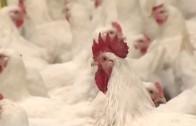 Няма сигнали за наличие на птичи грип в Старозагорска област
