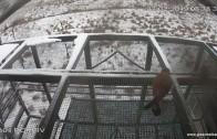 Снегът и ниските температури не успяха да изплашат белошипите ветуршки при завръщането им от миграция