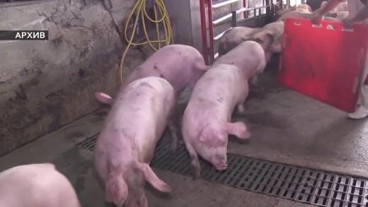 Хората не искат да повярват колко опасна е африканската чума по свинете